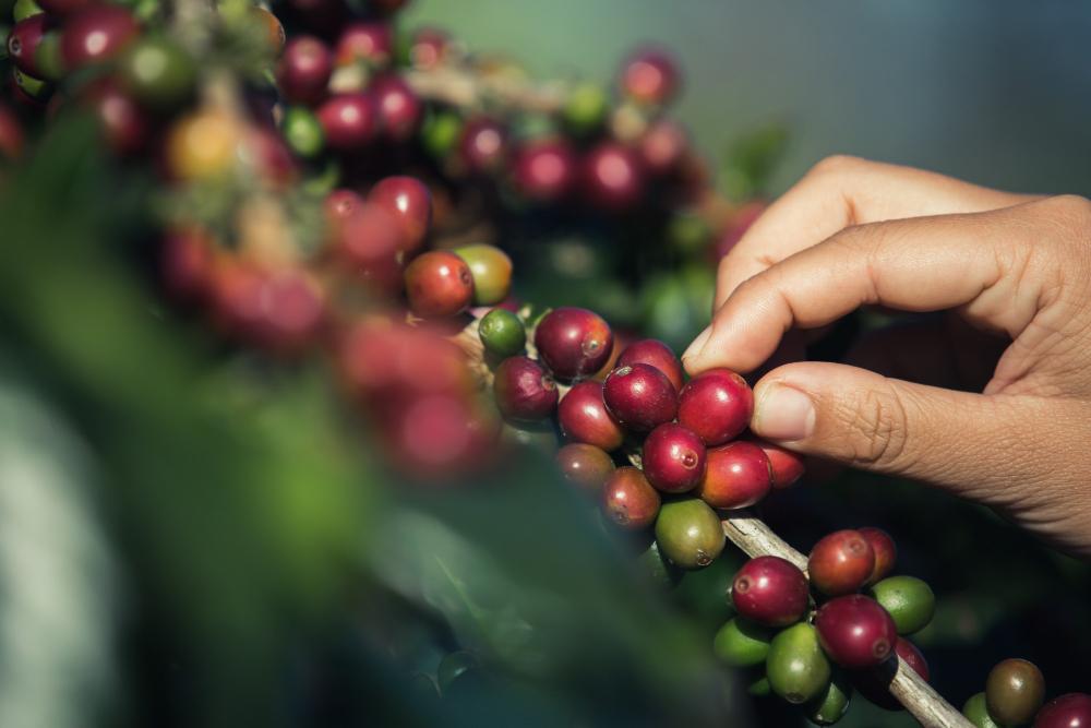 manos recogiendo semillas de café